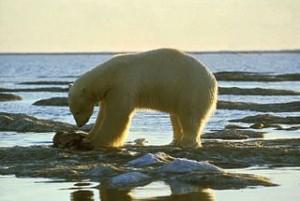 320px-White_polar_bear_on_snow_feeding_ursus_maritimus
