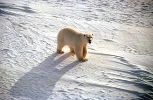 320px-White_polar_bear_on_snow_ursus_maritimus