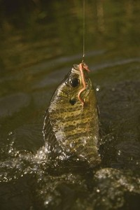 321px-Bluegill_fish_caught_on_a_hook_using_an_earthworm_lepomis_macrochirus