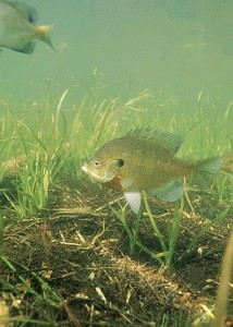 343px-Bluegill_fish_underwater