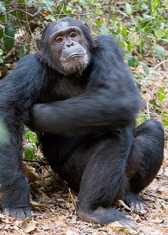 脇に手を当てるチンパンジー
