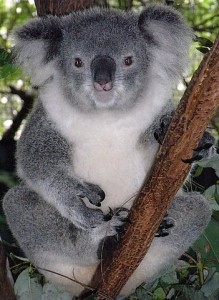 351px-Friendly_Female_Koala