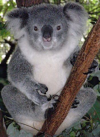 351px-Friendly_Female_Koala