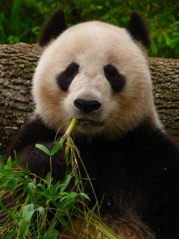 360px-Giant_Panda_eating_Bamboo