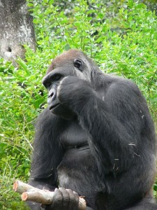 360px-Gorilla_gorilla_gorilla5