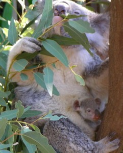 387px-Koala_with_young