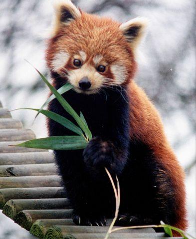 レッサーパンダの画像 p1_23