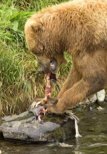Brown_bear_feeding_on_salmon