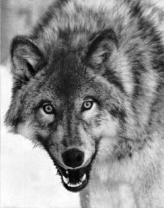 Canis_lupus_portrait