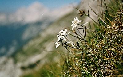 Edelweiss_schief