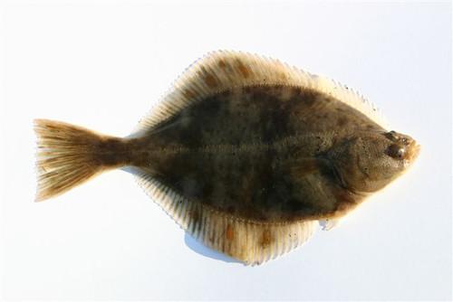 Flounder_