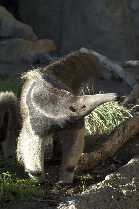 Giant_Anteater_Santa_Barbara_Zoo_2